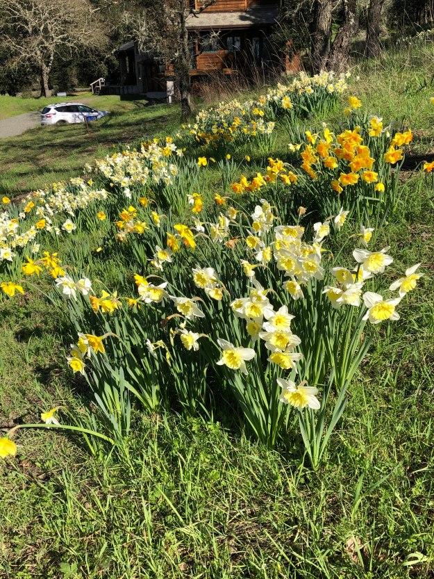 daffodils-20190IMG_9438
